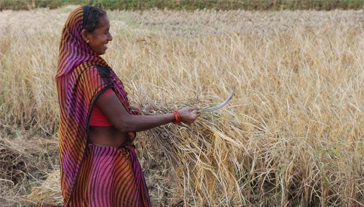 Indische Bäuerin erntet Getreide