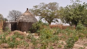 APAF-Senegal: Leguminosen düngen ausgelaugte Böden